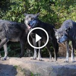 They brought wolves to Yellowstone, but they had no idea this would be the result.